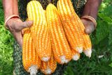 Kenya: Farmers expect maize shortage to continue